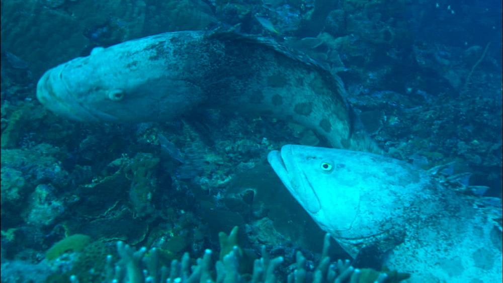 Potato grouper (Epinephelus tukula), dispute above reef, two cod show down over territory, colour change, Europa Island and Bassas Da India, Indian Ocean, Africa