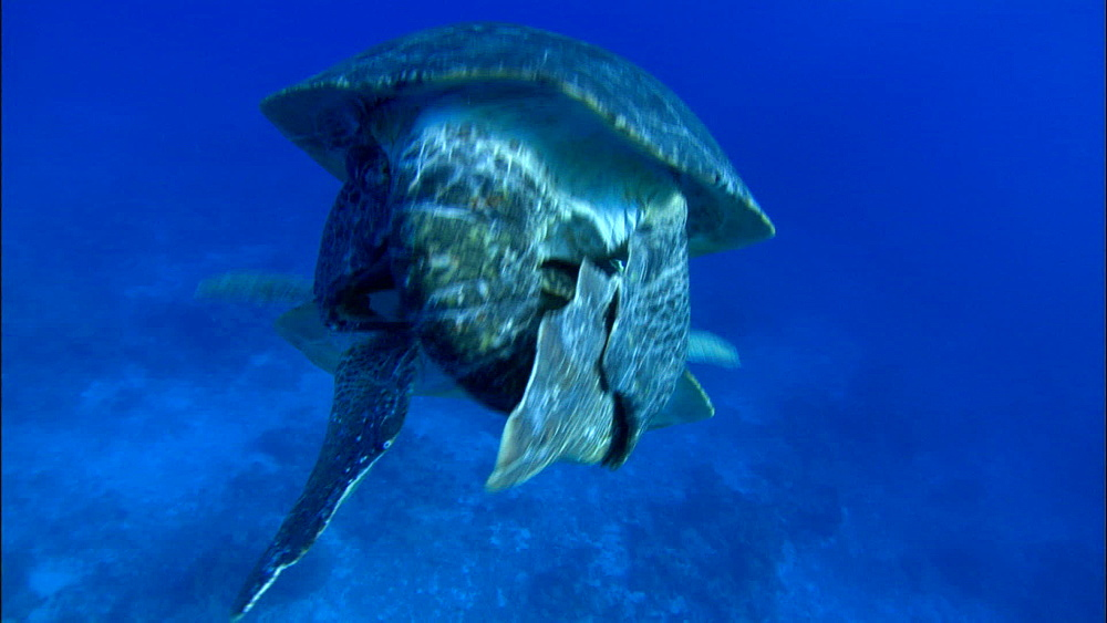 Green turtles mating (Chelonia Midas) breathes at surface, swims down, Europa Island and Bassas Da India, Indian Ocean, Africa