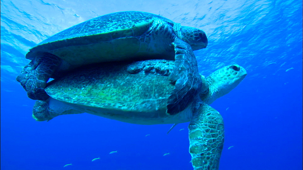 Mating Green turtles (Chelonia Midas) swim above camera, Europa Island and Bassas Da India, Indian Ocean, Africa