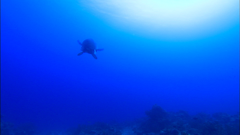 Mating Green turtles (Chelonia Midas) swim over reef and seabed, ascend, Europa Island and Bassas Da India, Indian Ocean, Africa