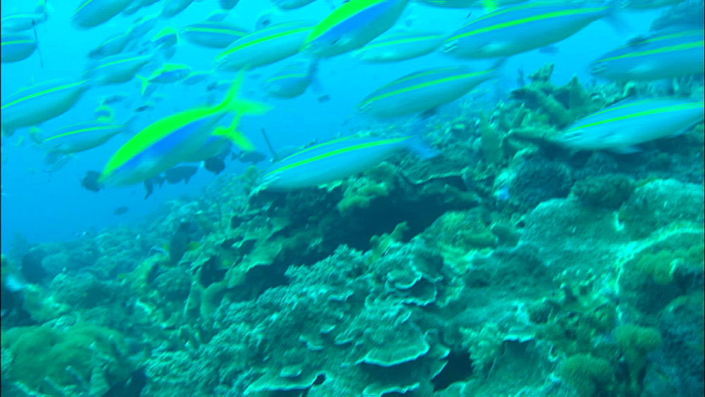 yellowtop fusiliers (Caesio xanthonota),two-lined fusilier(Pterocaesio digramma, shoal over reef,UW,var. Europa/Bassas Da India - 1010-3712