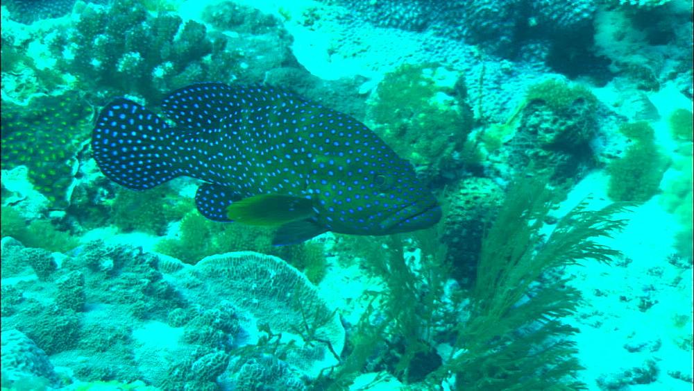 Coral reef, track, Peacock grouper juvenile (Cephalopholis argus), Europa Island and Bassas Da India, Indian Ocean, Africa
