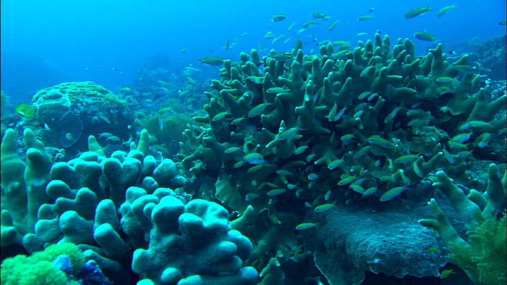 Coral reef, reef fish, Europa Island and Bassas Da India, Indian Ocean, Africa