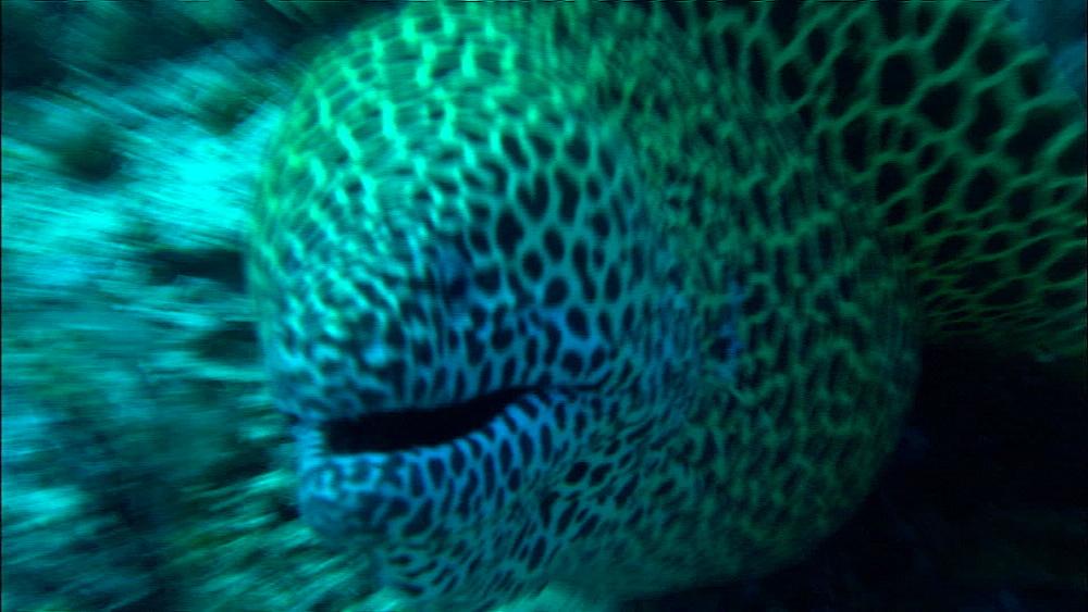 Honeycomb moray eel (Gymnothorax favagineus) swims over reef, Europa Island and Bassas Da India, Indian Ocean, Africa