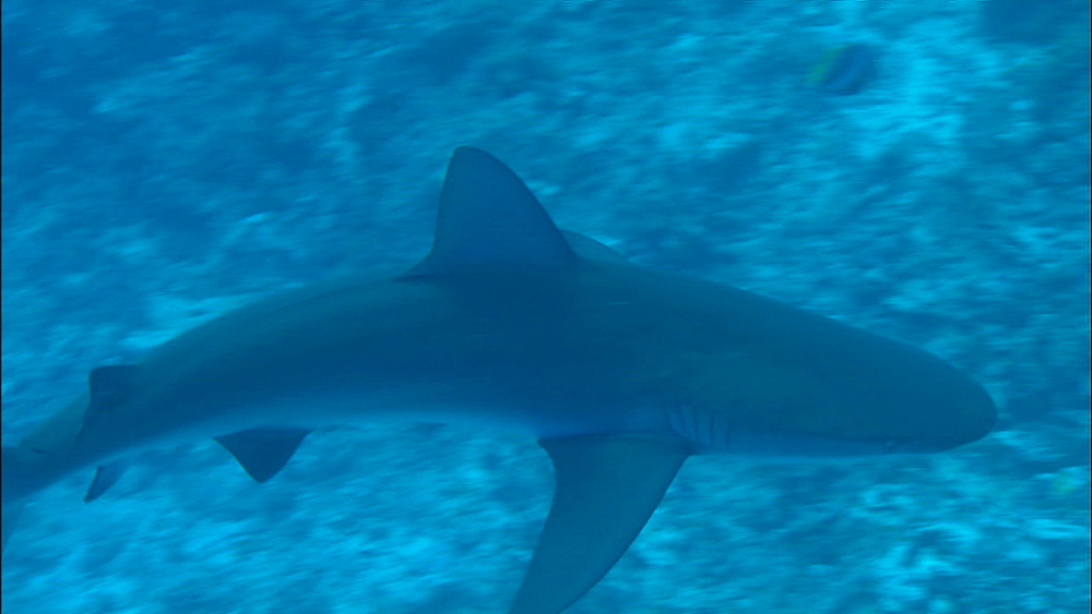 Galapagos shark (Carcharhinus galapagensis), Europa Island and Bassas Da India, Indian Ocean, Africa - 1010-3725