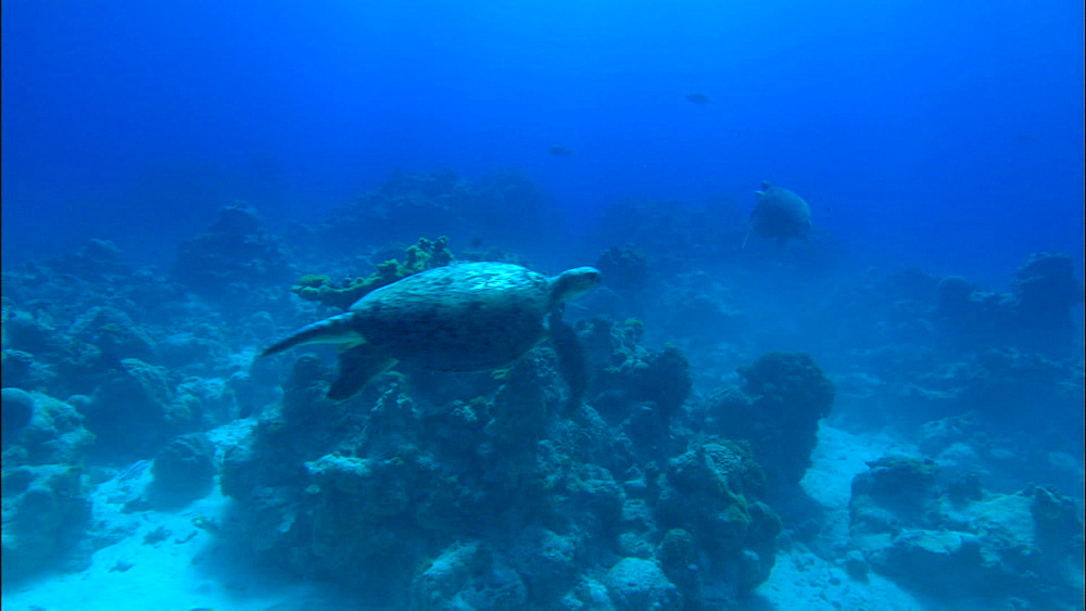Green turtles (Chelonia Midas), mating pair, single male, Europa Island and Bassas Da India, Indian Ocean, Africa