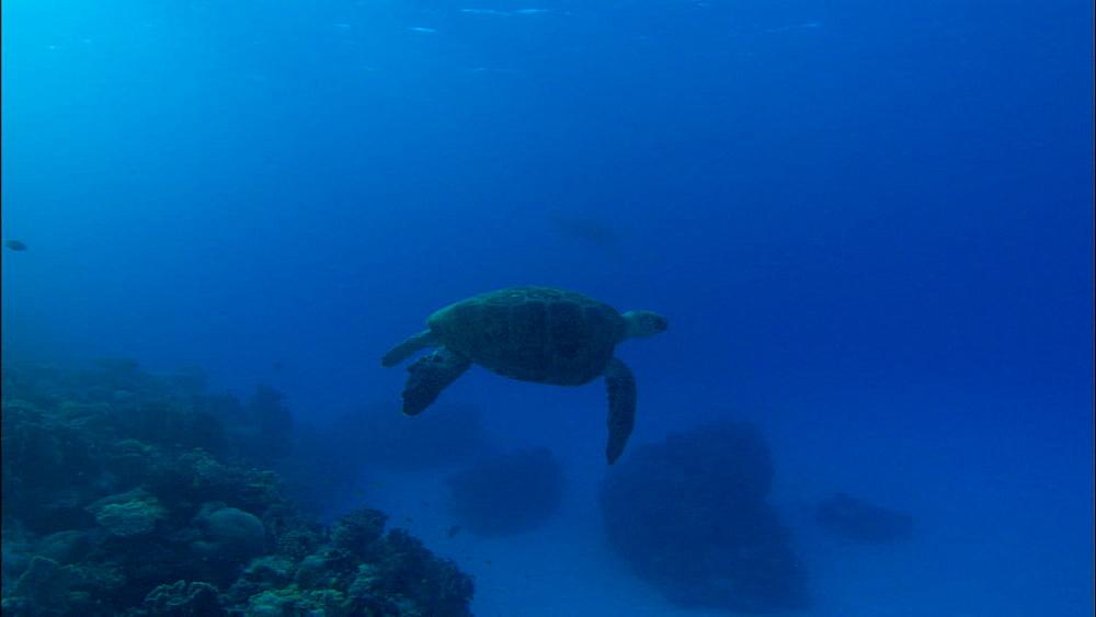 Green turtle (Chelonia Midas) male, swimming, Europa Island and Bassas Da India, Indian Ocean, Africa