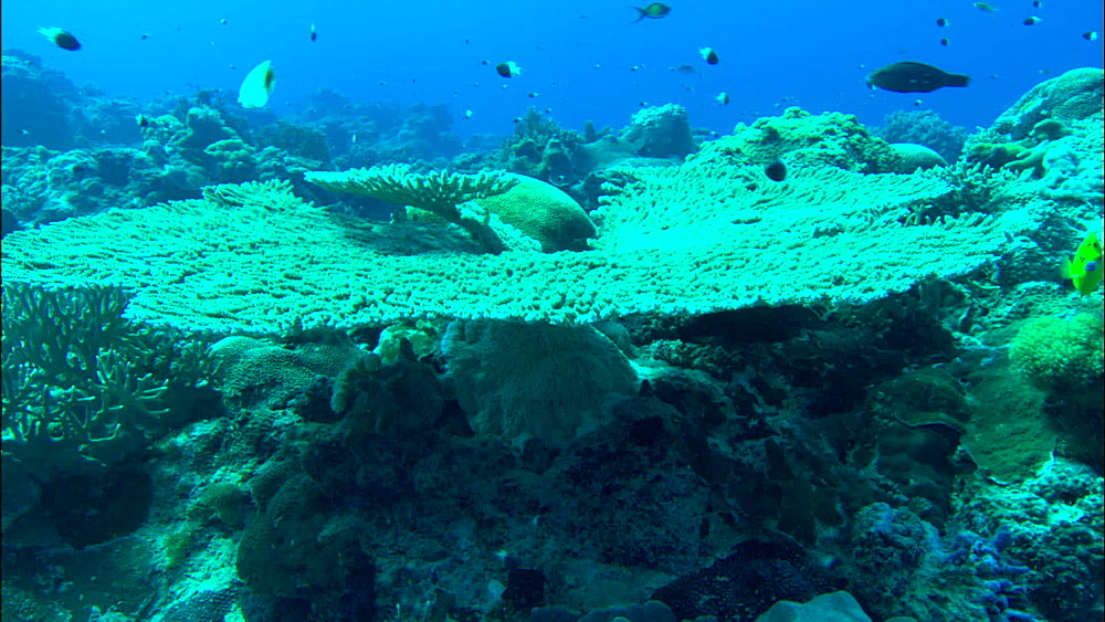 Coral reef, chromis, track to table top coral, Europa Island and Bassas Da India, Indian Ocean, Africa