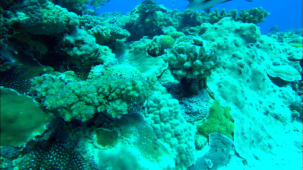 Coral reef, zoom, Europa Island and Bassas Da India, Indian Ocean, Africa