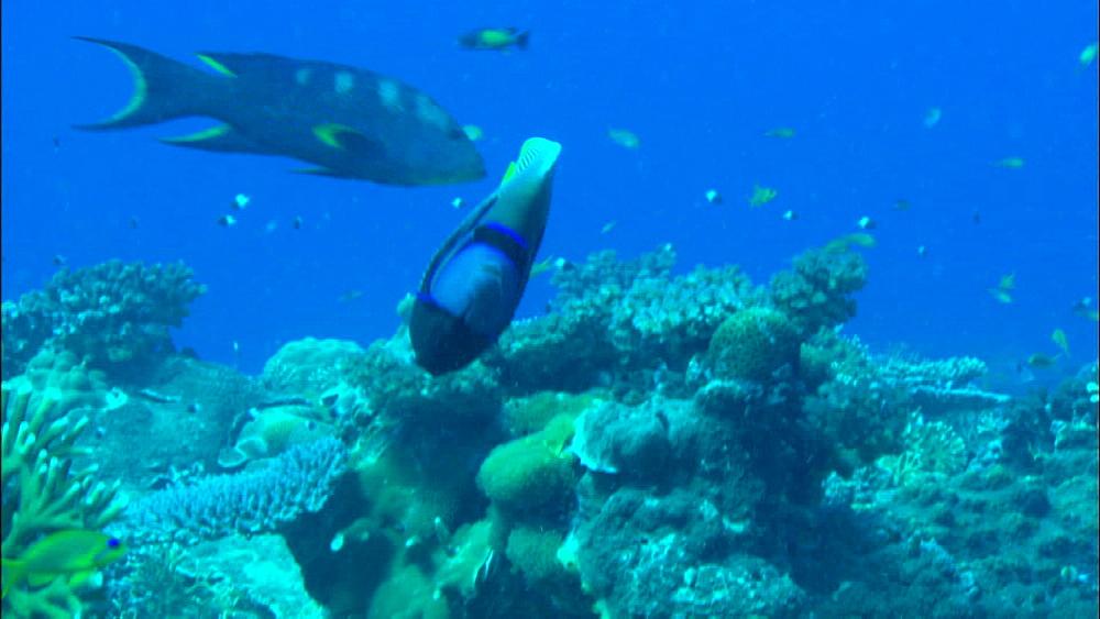 Emperor angelfish (Pomacanthus imperator), Indian dascyllus (Dascyllus carneus) and reef, Europa Island and Bassas Da India, Indian Ocean, Africa