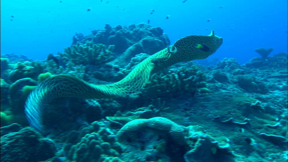 Honeycomb moray (Gymnothorax favagineus) swims over reef, Europa Island and Bassas Da India, Indian Ocean, Africa
