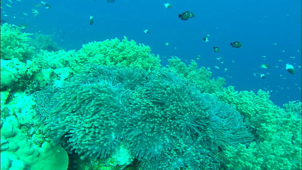 Anemone, skunk anemonefish (Amphiprion akallopisos), zoom, Europa Island and Bassas Da India, Indian Ocean, Africa