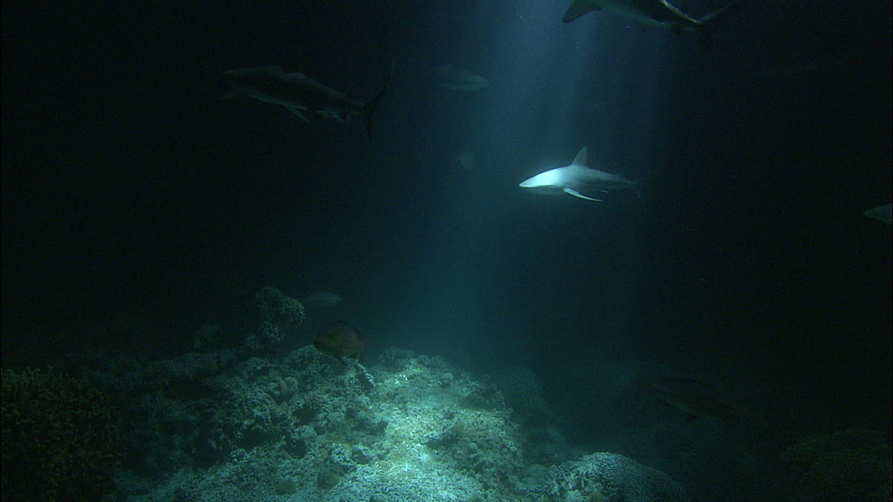 Galapagos sharks (Carcharhinus galapagensis), trevallies, night filming, Europa Island and Bassas Da India, Indian Ocean, Africa