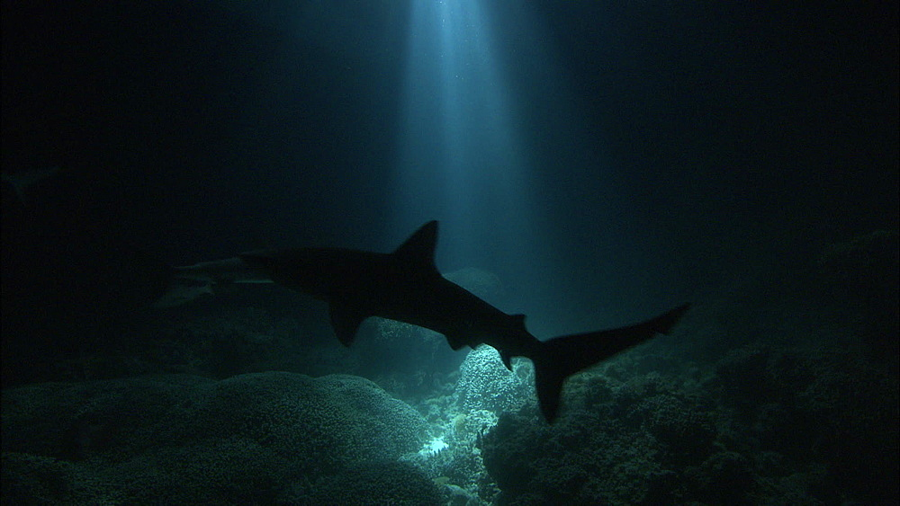 Galapagos sharks (Carcharhinus galapagensis), trevallies, night filming, near coral reef, Europa Island and Bassas Da India, Indian Ocean, Africa - 1010-3781