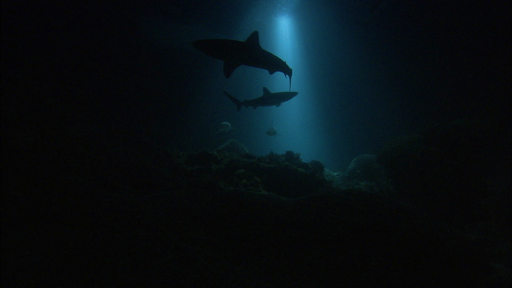 Galapagos sharks (Carcharhinus galapagensis), trevallies, night filming, near coral reef, Europa Island and Bassas Da India, Indian Ocean, Africa - 1010-3785