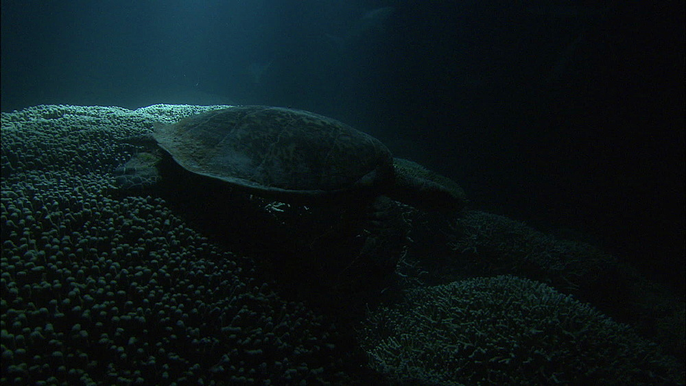 Galapagos sharks (Carcharhinus galapagensis), green turtle (Chelonia Midas), rays of moonlight on reef, night filming, slow track, Europa Island and Bassas Da India, Indian Ocean, Africa