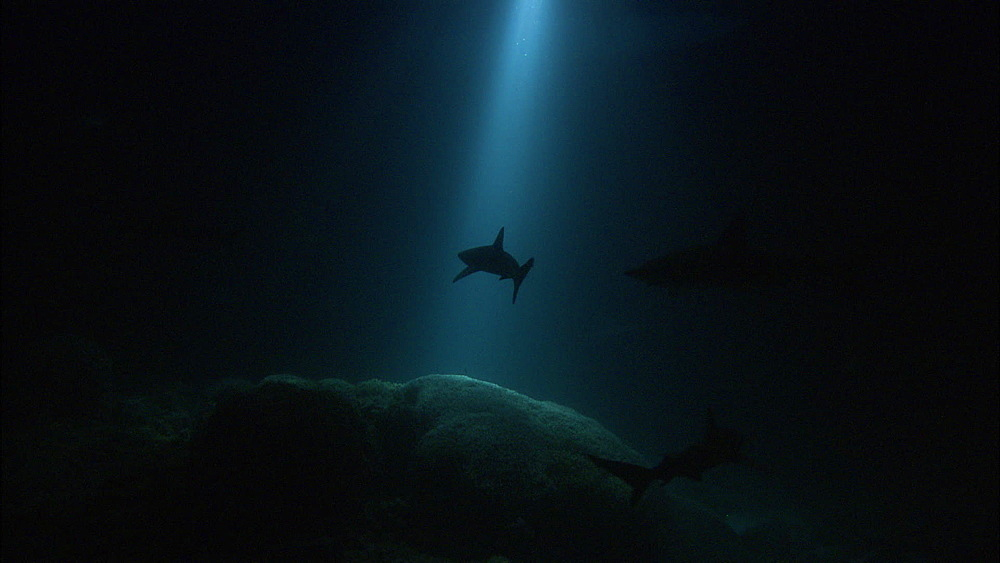 Galapagos sharks (Carcharhinus galapagensis), silhouettes, rays of light on reef, night filming, Europa Island and Bassas Da India, Indian Ocean, Africa - 1010-3791