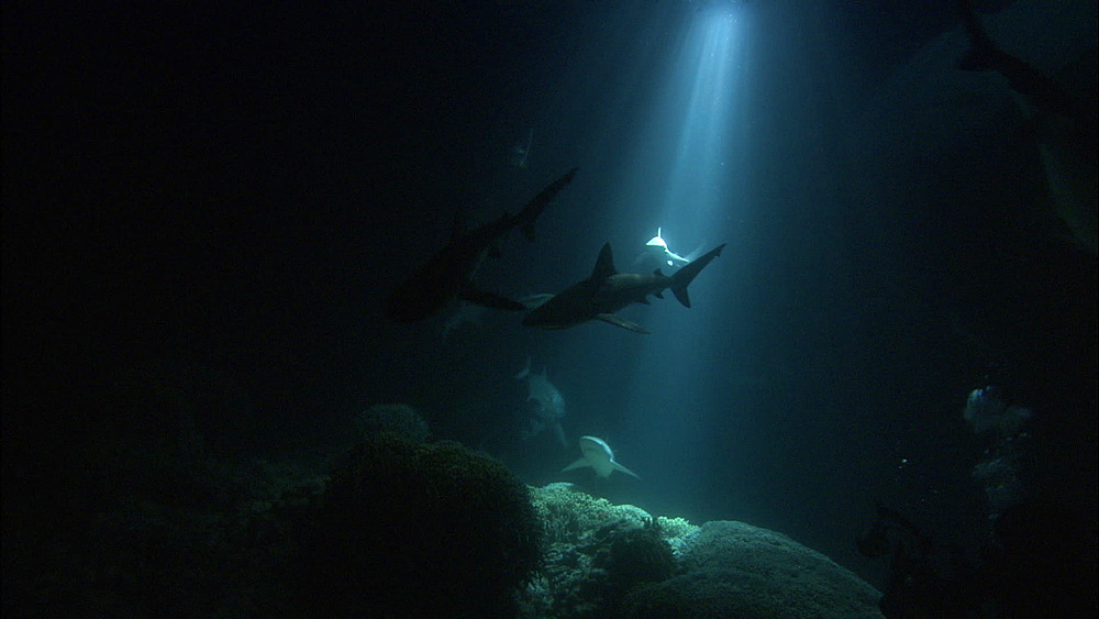 Galapagos sharks (Carcharhinus galapagensis), silhouettes, rays of light on reef, night filming, Europa Island and Bassas Da India, Indian Ocean, Africa