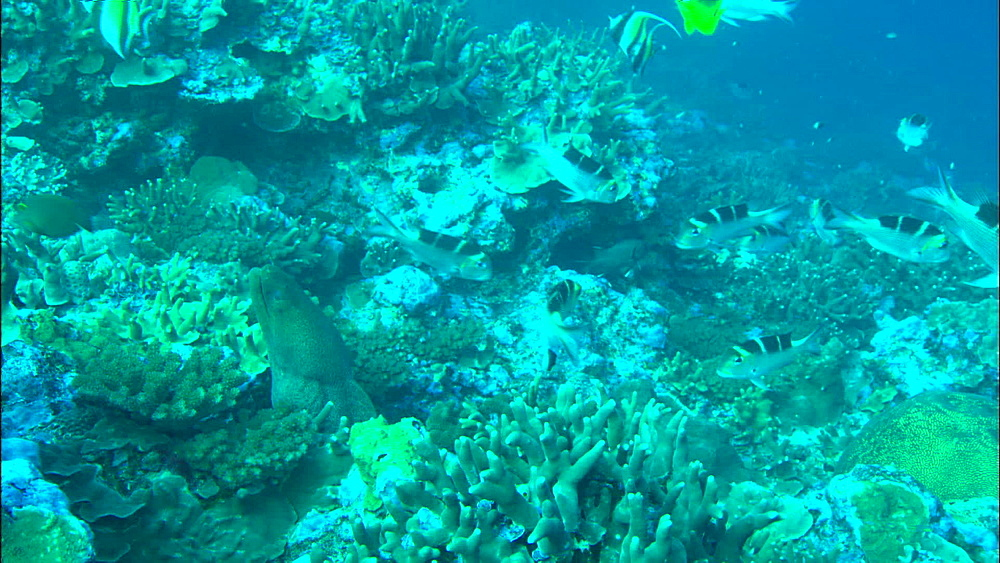 Coral reef, bannerfish, Racoon butterflyfish (Chaetodon lunula), Moray eel, out of hole, zoom, Europa Island and Bassas Da India, Indian Ocean, Africa
