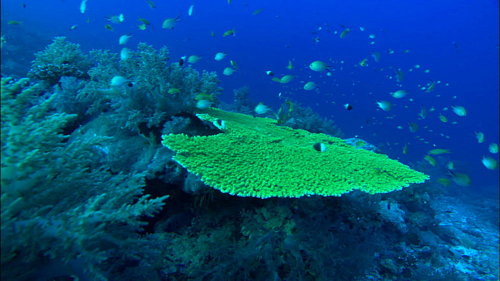 Coral reef, Meyers butterflyfish, track, Europa Island and Bassas Da India, Indian Ocean, Africa