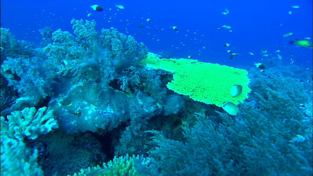 Blue soft coral, yellow hard coral reef, track, Europa Island and Bassas Da India, Indian Ocean, Africa