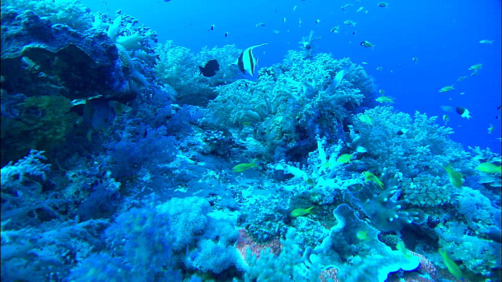 Coral reef, reef fish, track, Europa Island and Bassas Da India, Indian Ocean, Africa