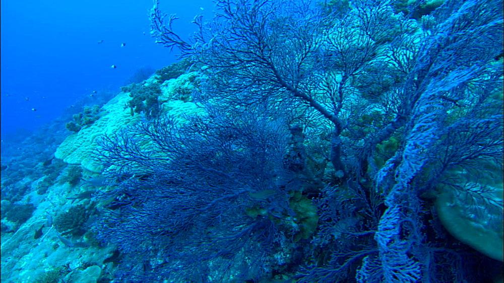 Coral reef, blue seafan, track, Europa Island and Bassas Da India, Indian Ocean, Africa