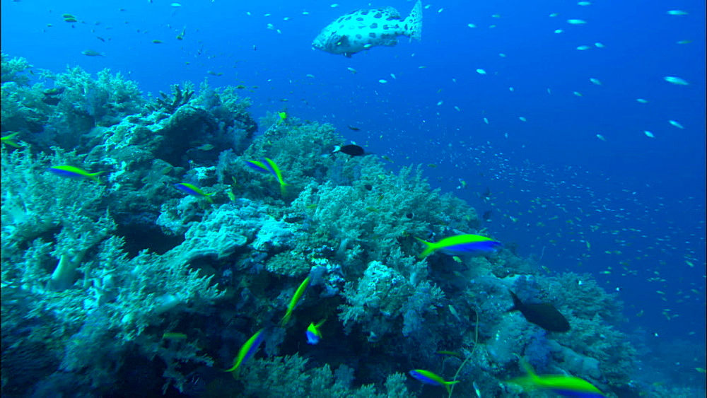 Coral reef, lots of reef fish, yellowback fusilier (Caesio teres), track, Europa Island and Bassas Da India, Indian Ocean, Africa