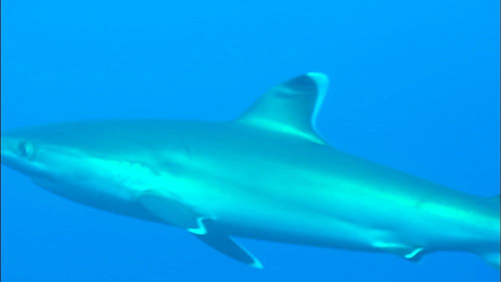 Silvertip shark (Carcharhinus albimarginatus), Europa Island and Bassas Da India, Indian Ocean, Africa - 1010-3833