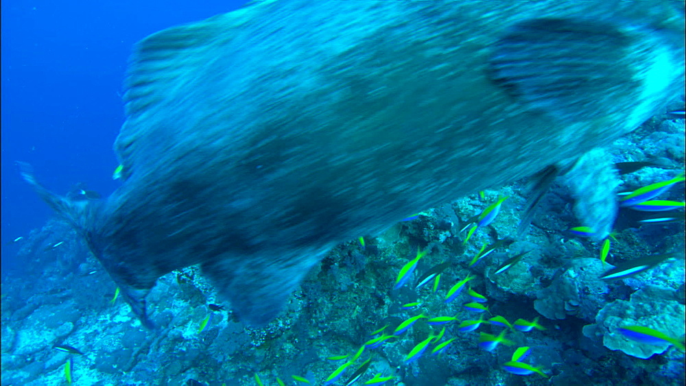 Potato grouper (Epinephelus tukula) above reef, grouper up to lens, yellowtop and darkbanded fusiliers, Europa Island and Bassas Da India, Indian Ocean, Africa