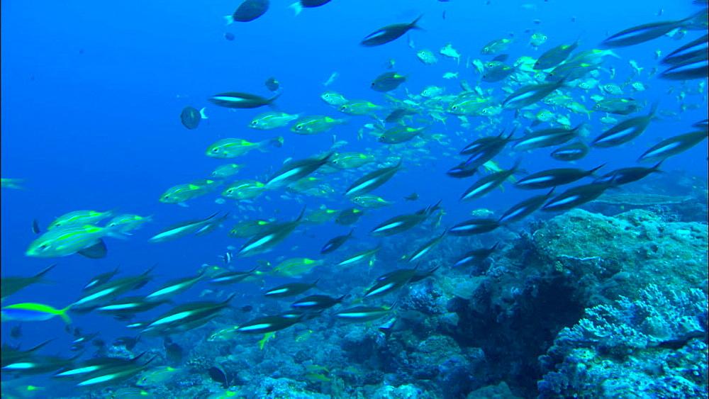 Coral reef, track, teeming fish, Europa Island and Bassas Da India, Indian Ocean, Africa
