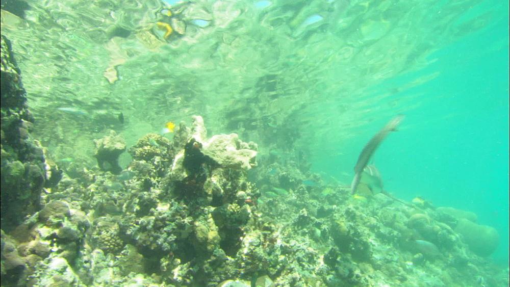Galapagos sharks (Carcharhinus galapagensis), shallow reef fish, Europa Island and Bassas Da India, Indian Ocean, Africa