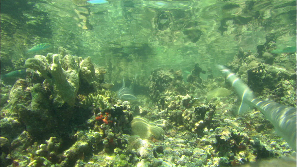 Galapagos sharks (Carcharhinus galapagensis), shallow cleft in reef, sharks swims to camera, Europa Island and Bassas Da India, Indian Ocean, Africa