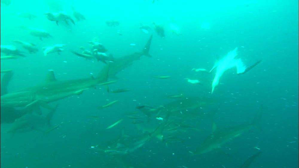 Common dolphin (Delphinus delphis), Cape fur seal (Arctocephalus pusillus) and gannet (Morus capensis), black tip, bronze whaler (Carcharhinus brachyurus), dusky shark (Carcharhinus obscurus), feed sardine bait ball, South Africa, Africa