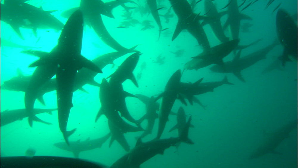 Great throngs of common dolphin (Delphinus delphis), dusky and blacktip (Carcharhinus limbatus) sharks above camera, feeding, South Africa, Africa