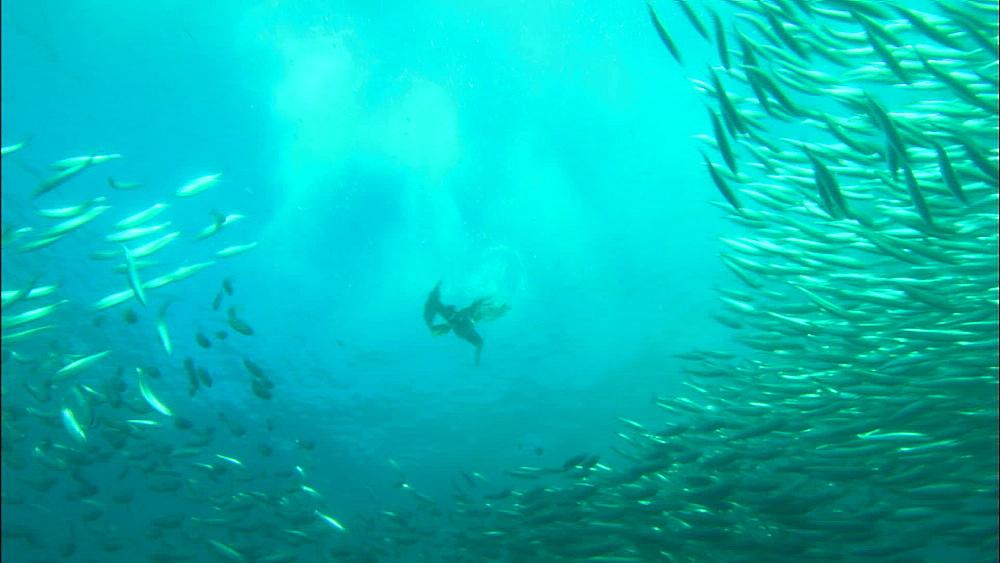 Sardine bait ball, gannet (Morus capensis), South Africa, Africa