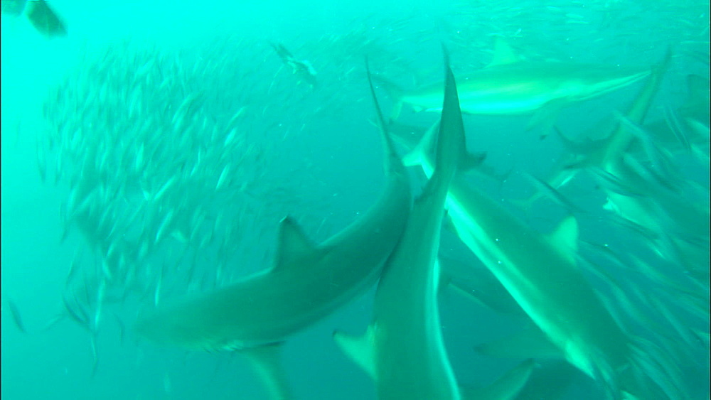 Sardine bait ball, gannet (Morus capensis), blacktip (Carcharhinus limbatus), dusky shark, bronze whaler shark(Carcharhinus brachyurus), South Africa, Africa - 1010-3876