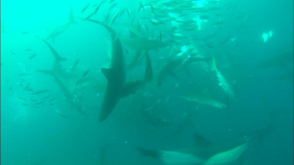 Sardine bait ball, gannet (Morus capensis), blacktip (Carcharhinus limbatus), dusky shark, bronze whaler shark (Carcharhinus brachyurus), South Africa, Africa - 1010-3878