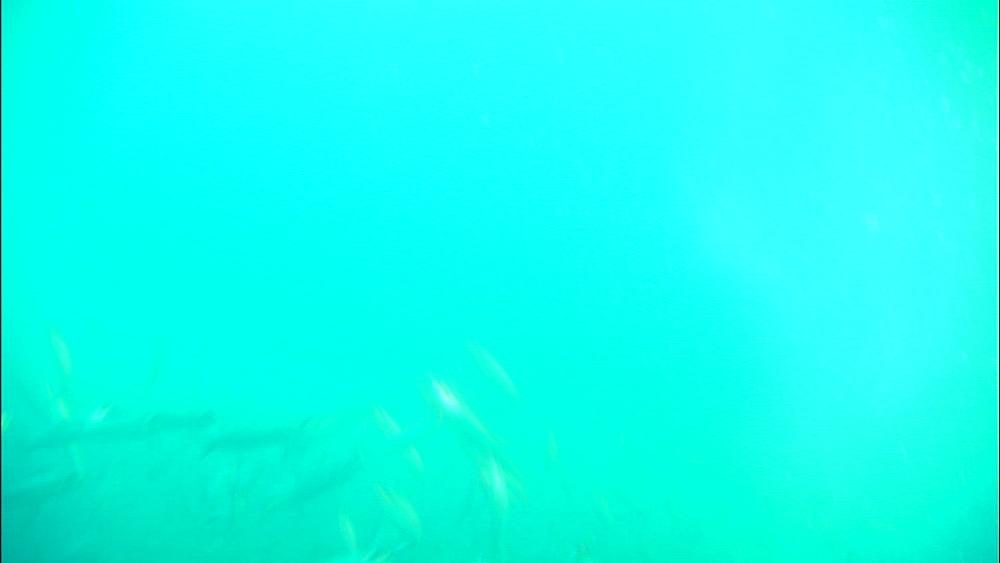 Sardine bait ball, South Africa, Africa