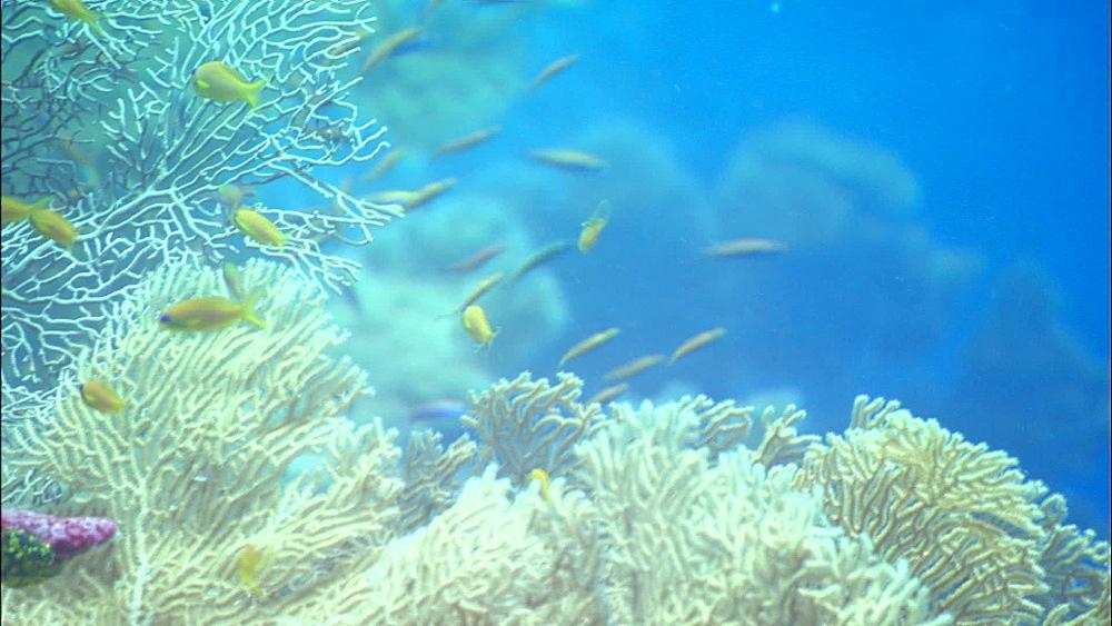 Anthias, myriad reef fish, seafan and coral reef, Alphonse Island, Seychelles, Indian Ocean, Africa