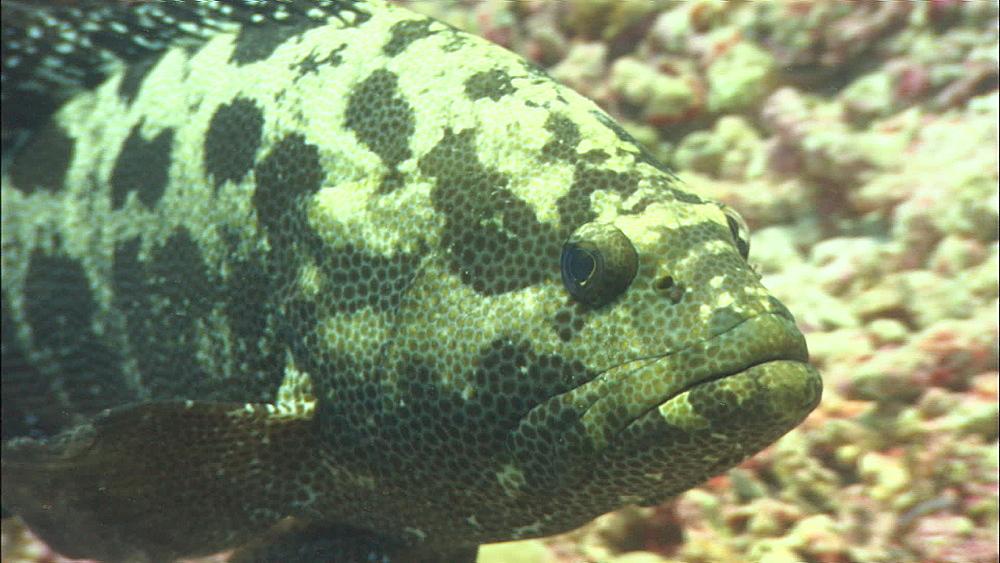 Marbled grouper (Epinephelus polyphekadion), Alphonse Island, Seychelles, Indian Ocean, Africa