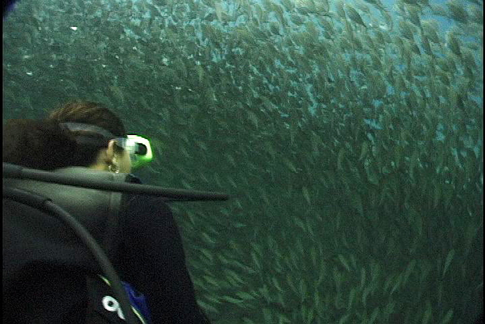 Diver swims through shoal of fish. Papua New Guinea