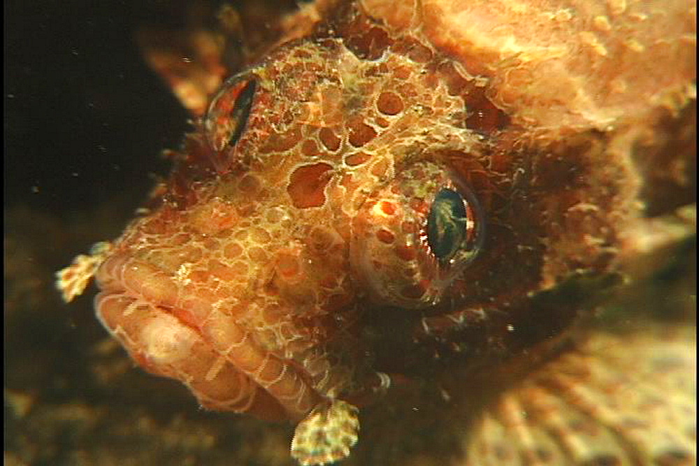 Scorpionfish (unknown species). Papua new Guinea - 1015-615