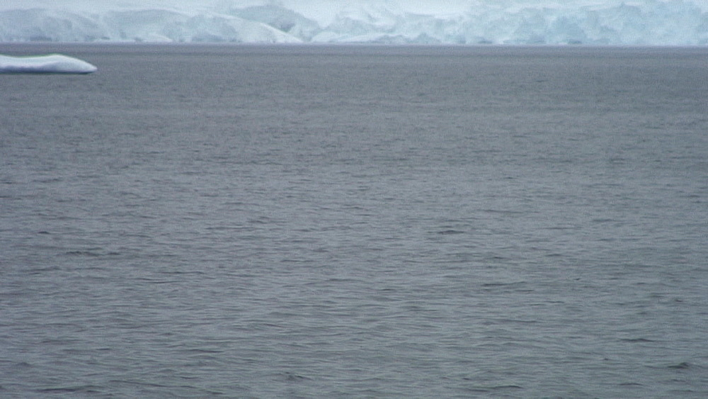 lone orca (killer whale) surfacing with snowy mountains in background, Antarctica
