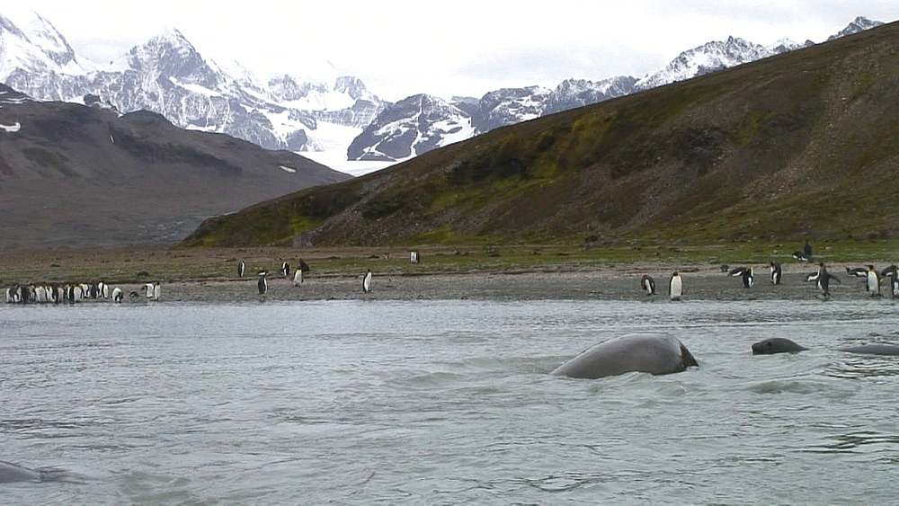 elephant seals fighting, St Andrews, Sth Georgia, Antarctica, Southern