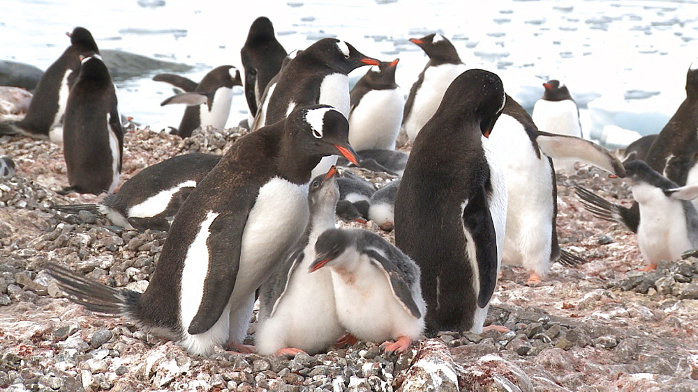 Gentoo penguins (Pygoscelis papua) with chicks, they defecate. Cuverville Island, Antarctic Peninsula