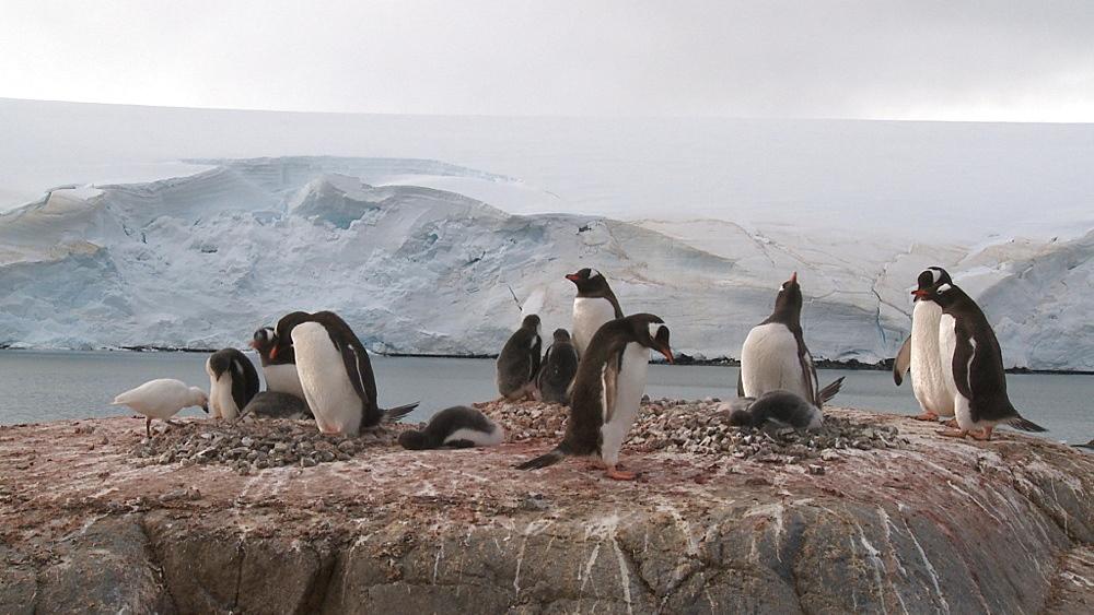 Gentoo penguin (Pygoscelis papua) small colony with snowy sheathbill (Chionis alba). Sub Antarctic islands