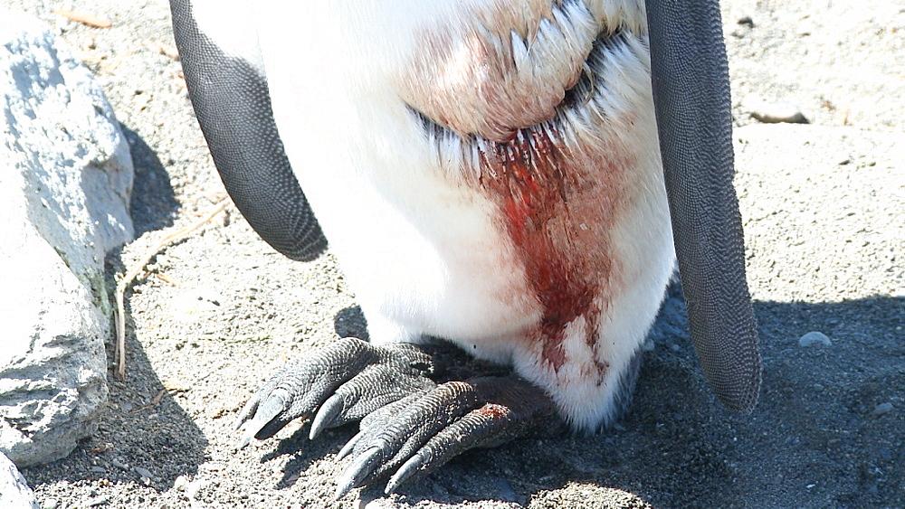 King penguin (Aptenodytes patagonicus) injured bird with wound. Gold Harbour. South Georgia
