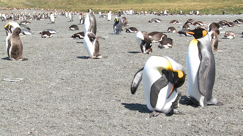 King penguins (Aptenodytes patagonicus) and gentoo penguins (Pygoscelis papua) preen. Gold Harbour. South Georgia