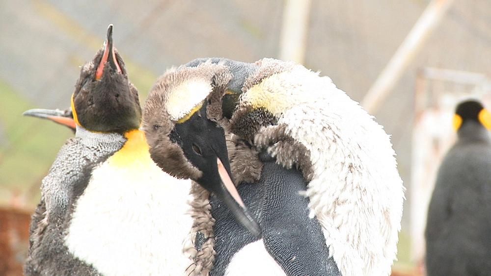 King penguins (Aptenodytes patagonicus) moulting. Grytviken Whaling Station. South Georgia Island